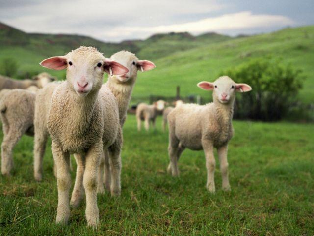 Երբ ոչխարն է մարդ արածացնում…